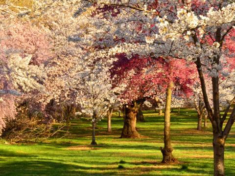 Kirschblüte beim Cherry Blossom Festival im Branch Brook Park