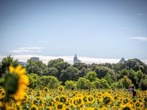 Prächtige Sonnenblumen im Dorothea Dix Park in Raleigh, North Carolina